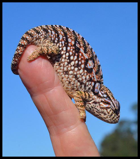 Chameleon on my finger
