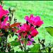 Bush of Roses.