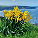 Daffodils with a sea view