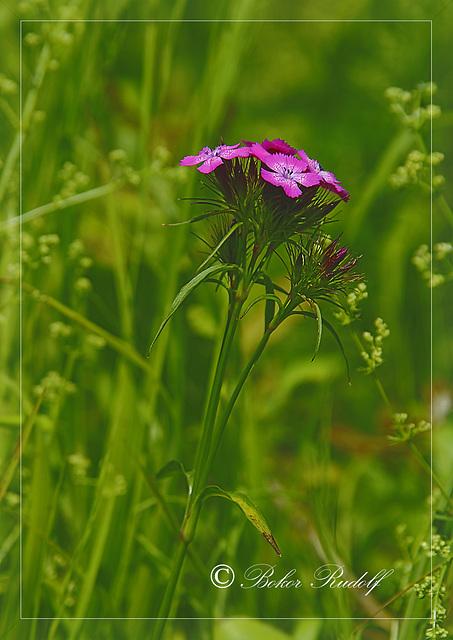 Szakállas szegfű (Dianthus barbatus)