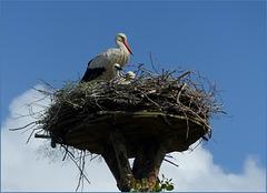 Storks family..