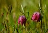 Schachbrettblumen - Fritillaria meleagris - mit PiP - please view on black!