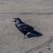 Vocal crow