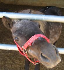 Amish Draft Horse Lancaster County, PA
