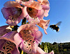 Bees love Foxgloves !!!