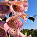 Bees love Foxgloves !!!
