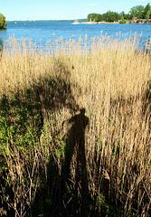 Schilf-Schatten