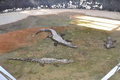 Tamen la krokodiletoj kreskas...