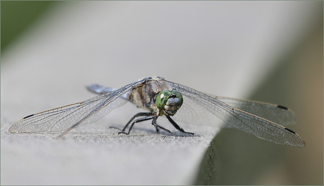 Face à l' Orthetrum