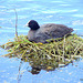 Coot On A Nest