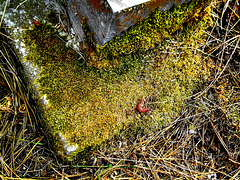 Mossy foot
