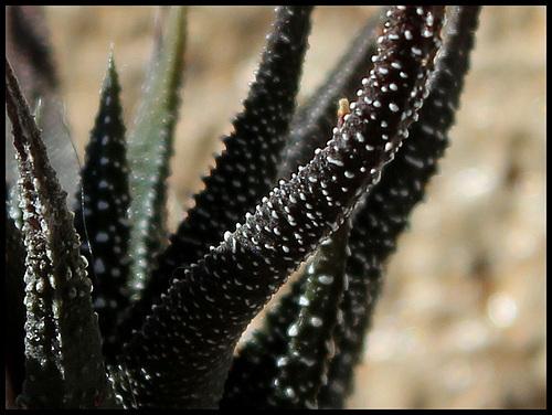 Haworthia kuentzii (2)