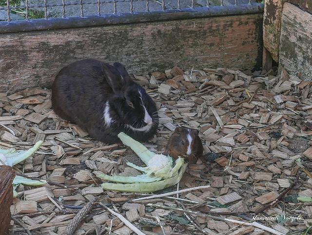 Kanienchen und Meerschweinchen