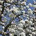 Streuobst-Apfelblüte