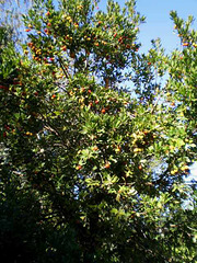Arbutus tree, loaded with ripe berries.