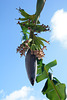 Dominican Republic, Banana Flower with Ovaries