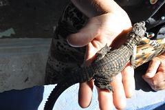 Ĉi tie vi povas kompari la krokodileton kun la homa mano