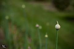 345/366: Budding Alliums