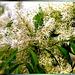 Blüten der Manna-Esche.  ©UdoSm