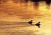 Pied-billed grebes on Bluff Lake