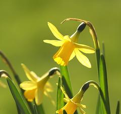 """Narcissus """"Tête-à-tête"""""""