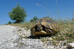 Greece - Greek tortoise