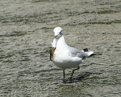 ring-billed gull with a nice necktie