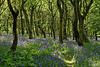 Piethorne Bluebell woods