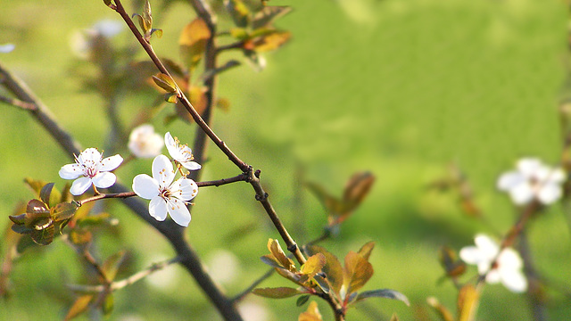 white prunus