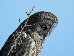 Great Gray Owl, watching and listening