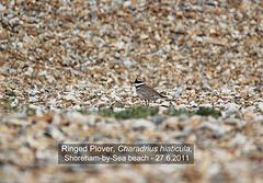 Ringed Plover, Shoreham 27 6 2011