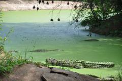 La grandajn krokodilojn la bredistoj translokigas al granda subĉiela tereno kun granda akvujo