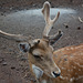 Azores, The Island of Pico, Portrait of the Deer