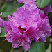 P.J.M Rhododendron