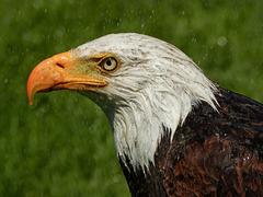 Bald Eagle getting a hosepipe shower