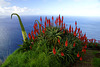 Red flowers of Candelabra Aloe in Madeira (Portugal)