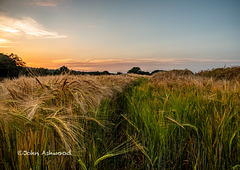 Sunset over the wheat fields