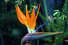 Bird of Paradise Explore 064 copy