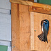 Our birdhouses are occupied by Tree Swallows.