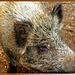 Hi, my name is Piggy... ©UdoSm