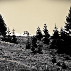 Die Kuh ... am Horizont