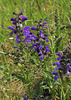 Sauge des prés - Salvia pratensis
