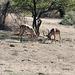 Namibia, Erindi Game Reserve, Duel of Impala Males