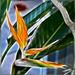 Painted Strelitzia. ©UdoSm