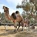 Dromadaire et son nouveau né de 4 semaines