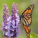 Monarch, Milkweed Butterfly ~ Monarchvlinder (Danaus plexippus)...