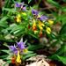 Zwei Farben - eine Blüte / Two colours - one blossom