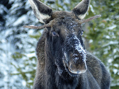 Male Moose are judged by the size  of their antlers