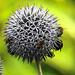 20170719 2479CPw [D~LIP] Kugeldistel, Erdhummel, Honigbiene, Mistbiene, Insekt, Bad Salzuflen