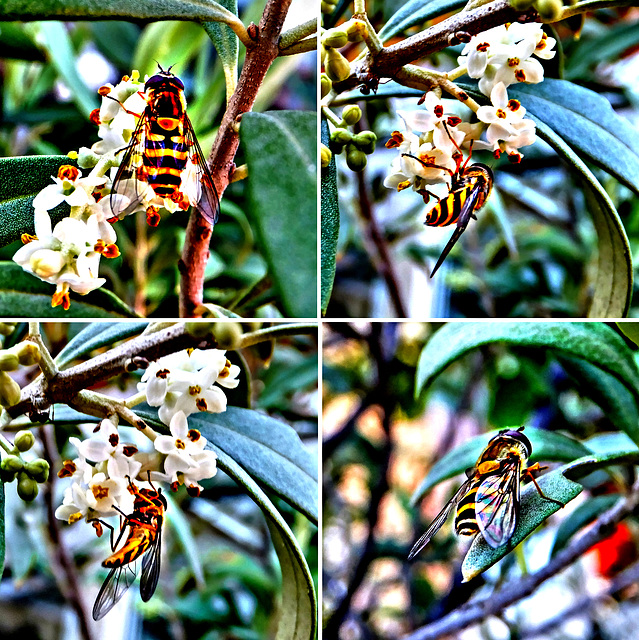 Hoverfly on olive blossoms, ©UdoSm